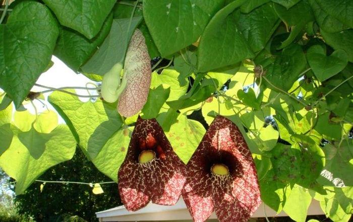 The amazing Aristolochia Grandiflora / Marin
