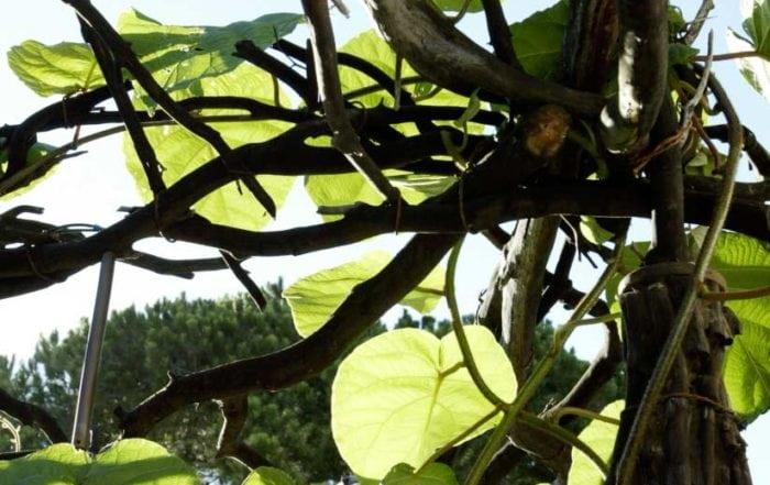 Manzanita trellis and Kiwi vine